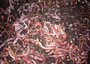 Angelwürmer Dendrobena